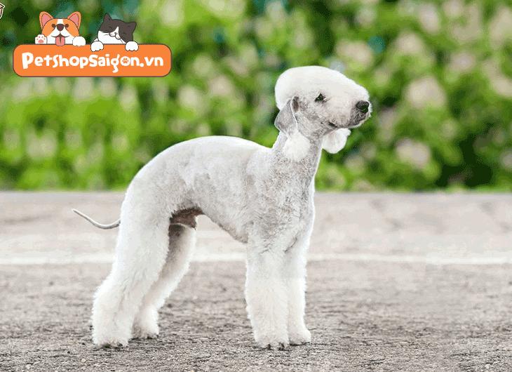 Top 10 giống chó không gây dị ứng cho con người
