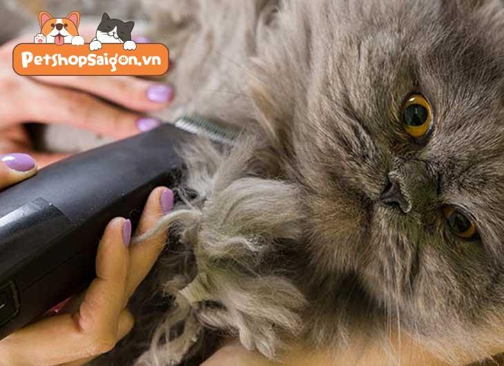 cách chăm sóc mèo anh lông dài
