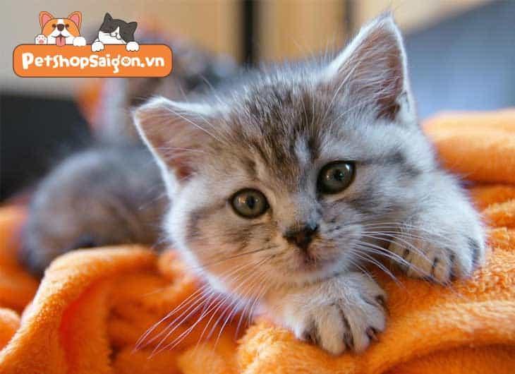 cách chăm sóc mèo con 1 tháng tuổi