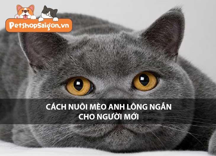 Cách nuôi mèo Anh lông ngắn cho người mới
