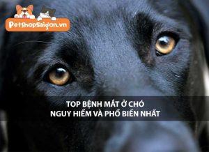 Top bệnh mắt ở chó nguy hiểm và phổ biến nhất