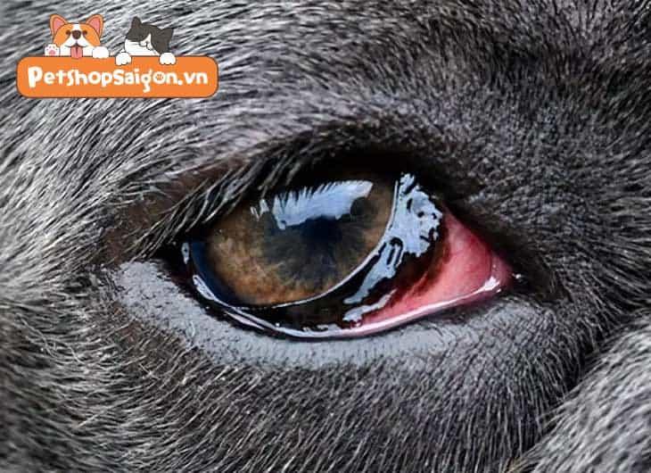 bệnh mắt ở chó