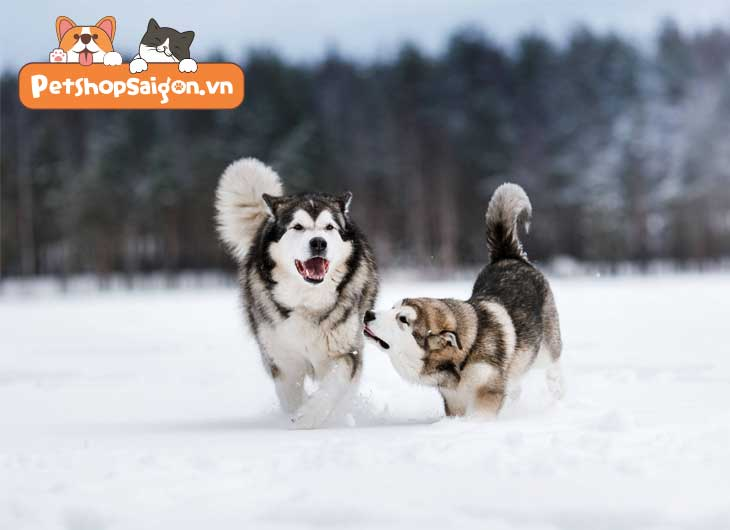 cách chăm sóc chó husky