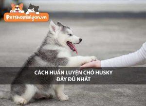 Cách huấn luyện chó Husky đầy đủ nhất