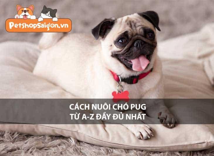 Cách nuôi chó Pug từ A-Z đầy đủ nhất