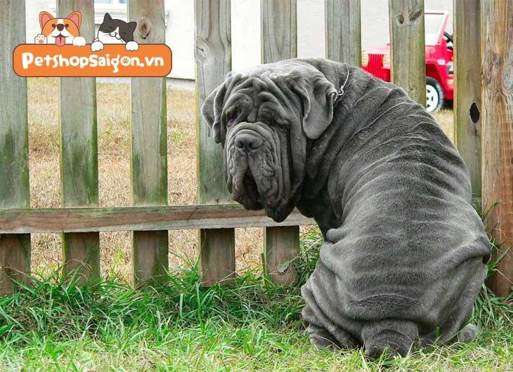 những giống chó to nhất thế giới