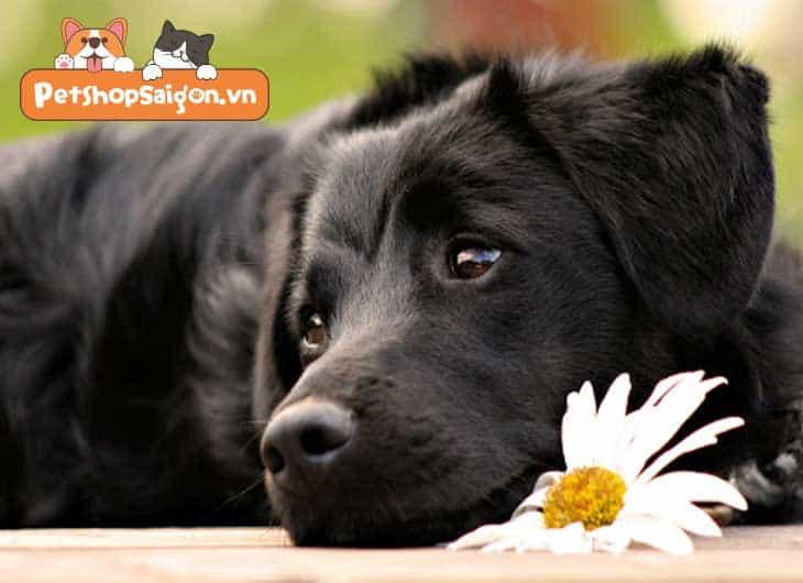 nuôi chó đen có tốt không