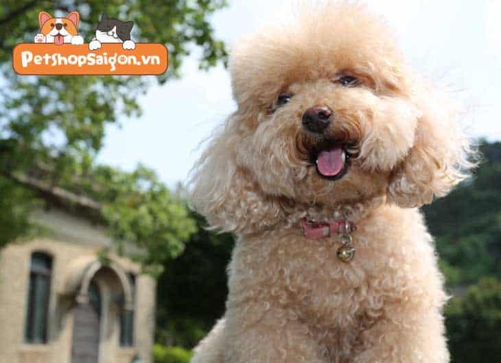Cách huấn luyện chó Poodle