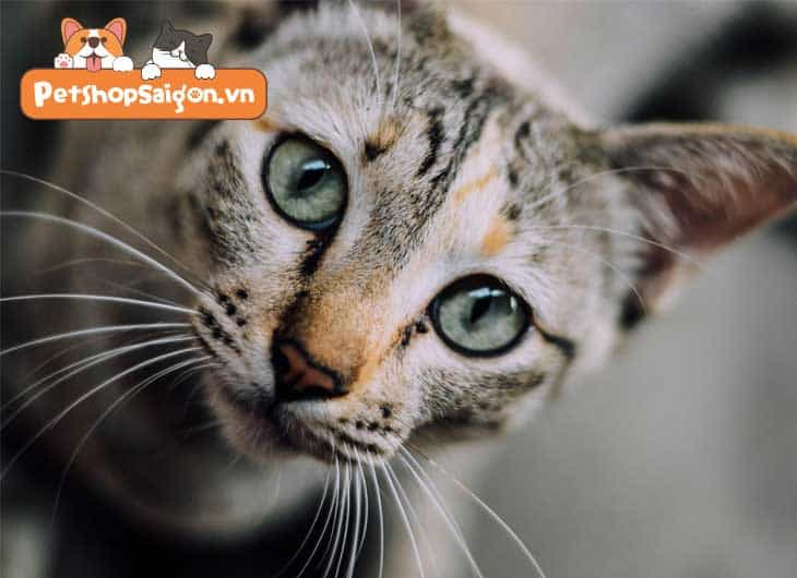 Mèo bị sụt cân thì cần làm gì?