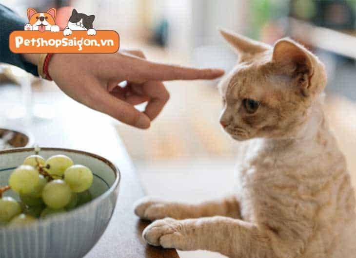 Thức ăn tốt nhất cho mèo con Anh lông ngắn