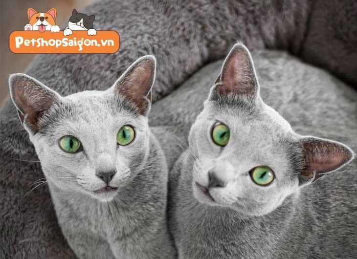 Các giống mèo có tuổi thọ dài nhất trên thế giới