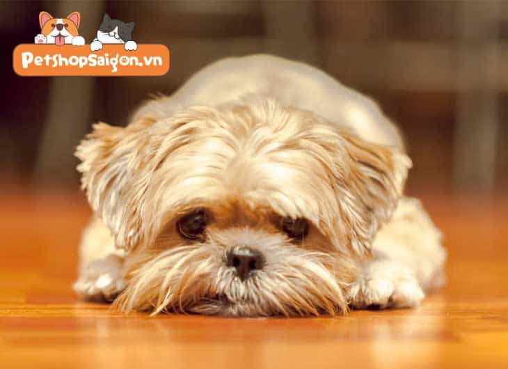 Cách hạ sốt cho chó