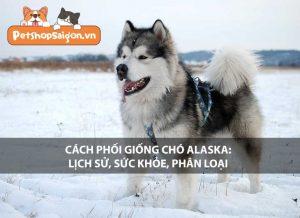 Cách phối giống chó Alaska: Lịch sử, sức khỏe, phân loại