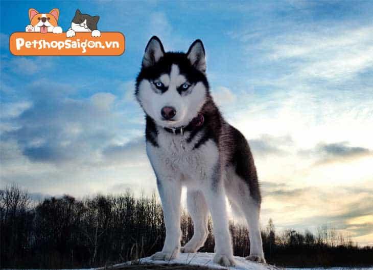 cách phối giống chó alaska