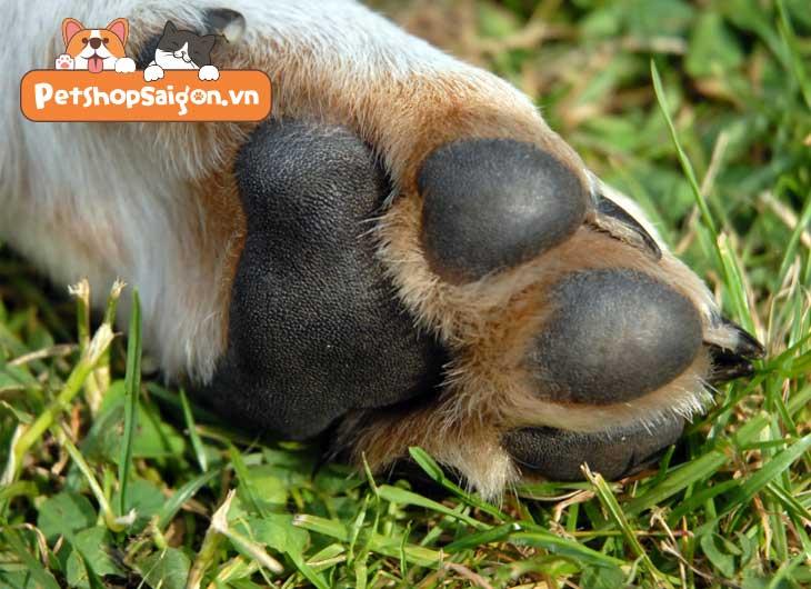 Chân của chó và các bệnh thường gặp