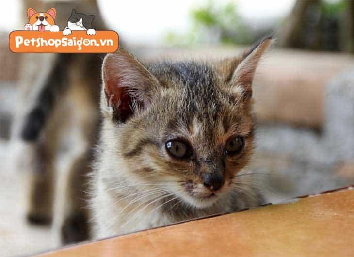 Có nên triệt sản cho mèo cái không?