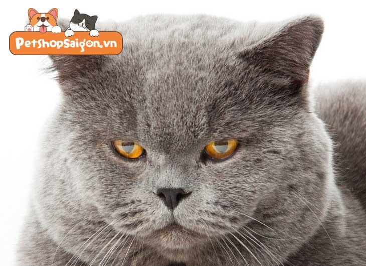 Tìm hiểu về mèo Anh lông ngắn