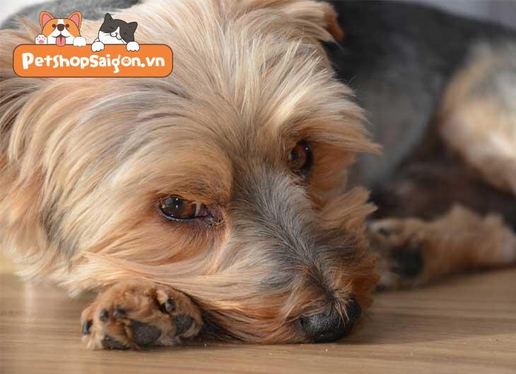 Chó bị viêm tử cung