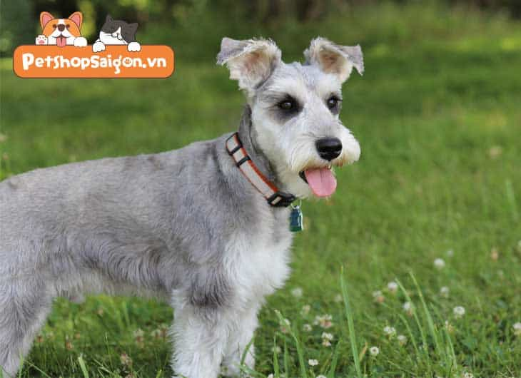 Top 11 giống chó nhỏ tuổi thông minh được nuôi nhiều nhất