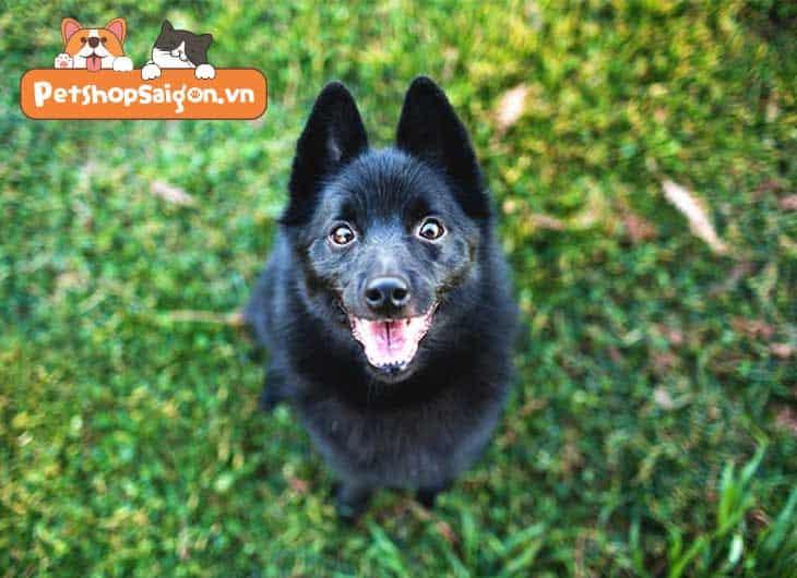 Top 11 giống chó nhỏ thông minh được nuôi nhiều nhất