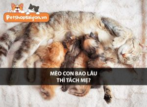Mèo con bao lâu thì tách mẹ?