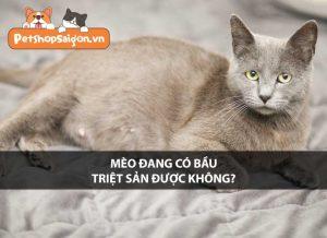Mèo đang có bầu có triệt sản được không?